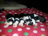 GORGEOUS BOSTON TERRIERS ,included first set of shots