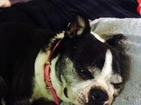 Female spayed Boston Terrier looking for awesome home.