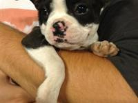 Boston terrier female pup, 11 weeks old, CKc signed up,