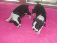 boston terrier female puppy,raised in my home with