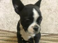 Hi I have two female Boston terrier pups for sale ,