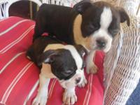 boston Terrier puppy's these little puppy's are raised