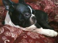 Purebred Boston Terrier for stud service. Healthy,