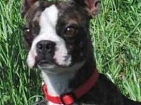Boston Terrier - Four Wheeler - Small - Young - Male -
