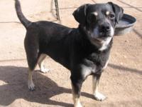 Boston Terrier - Frodo - Medium - Adult - Female - Dog