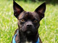 Boston Terrier - Gertie - Medium - Adult - Female -