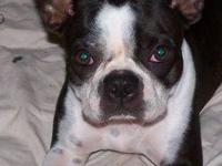 Boston Terrier - Ginni - Small - Adult - Female - Dog