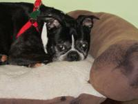 Boston Terrier - Gretel - Medium - Senior - Female -