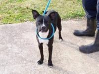 Boston Terrier - Huey - Small - Baby - Male - Dog