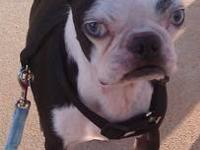 Boston Terrier - Jax In Neb - Small - Adult - Male -