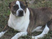 Boston Terrier - Jerry - Small - Adult - Male - Dog