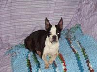 Boston Terrier - Jingle - Small - Adult - Female - Dog
