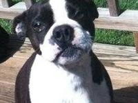 Boston Terrier - Keki - Medium - Adult - Male - Dog