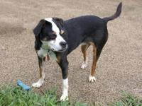 Boston Terrier - Kema - Large - Adult - Female - Dog