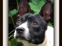 Boston Terrier - Little D - Small - Young - Male - Dog