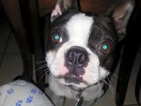 Boston Terrier looking for a loving home. We are moving