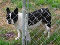 Sam is a black/ white Boston Terrier male. He is 7 yrs.