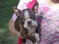 1 CKC Boston Terrier male remaining, just in time for