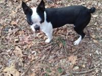 Boston terrier male his dob-3-11-2013 he has double