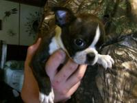 1 Male Boston Terrier . Current Health Cert . and Shots