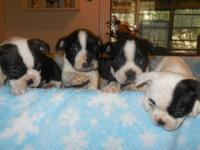 boston terrier male and female,our hobbie is raising