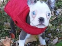 Blue Male Boston Terrier pup for sale, he has blue eyes