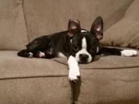 Male boston terrier puppy for sale. 13 weeks old first