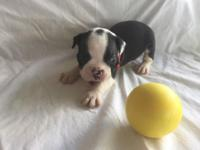 CKC registered male Boston Terrier Pure Bred puppy,