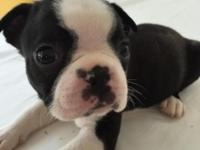 This sweet well marked Boston Terrier male puppy is so