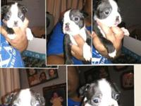 I have 3 male Boston Terrier for sale. I am now taking