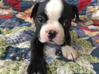 Sweet little male Boston terrier puppy ready November