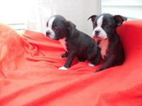 Boston Terrier puppies, 2 males, First shots, Written