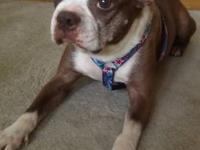Boston Terrier - Mariah In Neb - Small - Young - Female