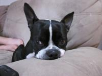 Boston Terrier - Maxie - Medium - Adult - Female - Dog