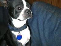 Boston Terrier - Maximus - Medium - Adult - Male - Dog