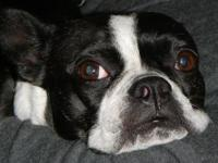 Boston Terrier - Maya In Colo - Small - Young - Female