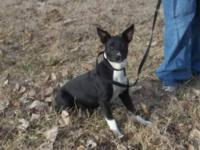 Boston Terrier - Perky - Medium - Young - Female - Dog