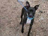 Boston Terrier - Phillip - Small - Young - Male - Dog
