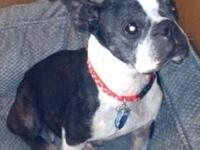 Boston Terrier - Princess-pending - Small - Adult -