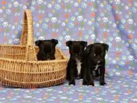Boston Terrier/Pug Puppies (BUG): - 2 females
