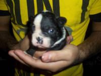 I have a PRIME CKC Registered Boston Terrier Female