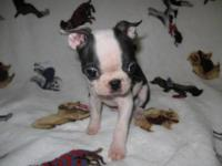 Registered Boston Terrier Puppie for Sale. One adorable