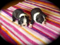 I HAVE A LITTER OF BEAUTIFUL BOSTON TERRIER PUPPIES. I