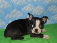 4 charming male Boston Terrier Puppies. They are