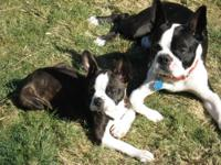 boston terrier puppies for sale oregon boston terrier puppies for sale in oregon classifieds 3063