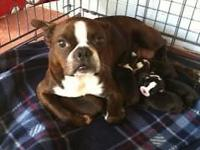 These are Ckc Reg. Boston Terrier Puppies. Check out