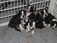 I have 2 Male Boston Terrier Puppies Born 7/13,