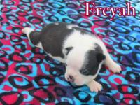 Boston terrier puppies Available - Accepting Deposits