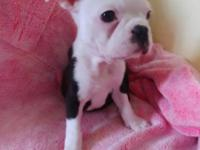 Cute little boston terrier born November 6, 2017,They