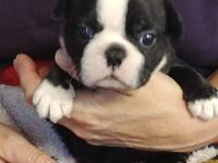 We have two gorgeous Boston Terrier girls that are